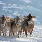 Swiss cows winter